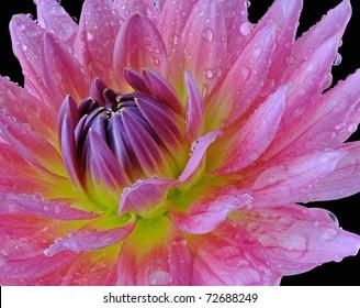 Pink Dahlia (Asteraceae) - Macro Image