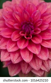 Pink dahlia bloom with petals covered in morning dew