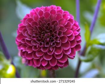 Pink Dahlia blooming flower
