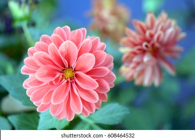 pink dahlia blooming in the Summer garden