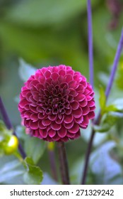 Pink Dahlia flower blooming outside