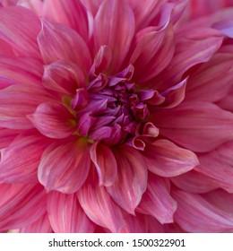 Pink Dahlia Flower Close up