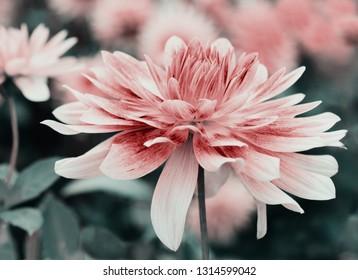 Pink dahlia flower close up, stylized