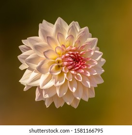 pink dahlia flower closeup isolated without stem