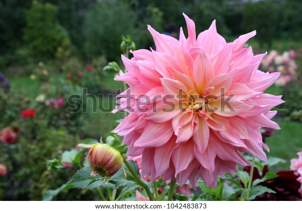 Pink dahlia flower in garden after rain