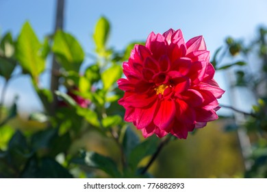 Pink dahlia flower with green leaves against a blue sky in a park