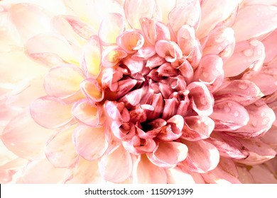 Pink dahlia flower head close up macro. Artistic view of a garden blooming plant full of petals and florest with soft pastel tones and soft light.