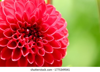 pink dahlia flower, a perennial plats with tuberous roots, member of the asteraceae.