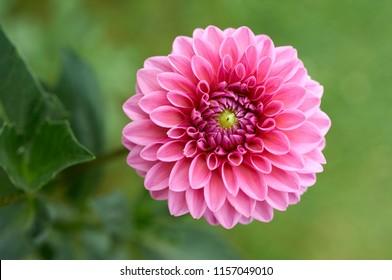 Dalia Flower Images Stock Photos Vectors Shutterstock