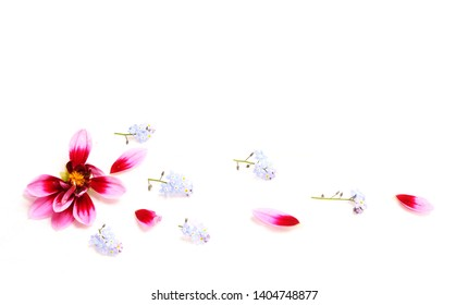 Pink dahlia flower , scattered petals and blue forget-me-nots on a white background