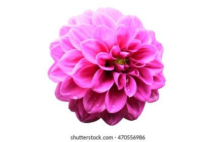 pink dahlia flower pink white background