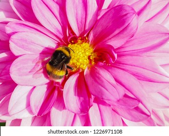 Pink Dahlia flower with yellow center, with bumblebee feeding on pollen nectar  at summer