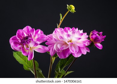 Pink dahlia flowers isolated on a dark background