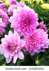 Pink dahlia flowers in a mixed flower bed in a garden
