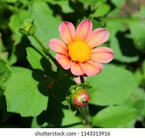 Pink Dahlia in Full Bloom, Bright Sunlight