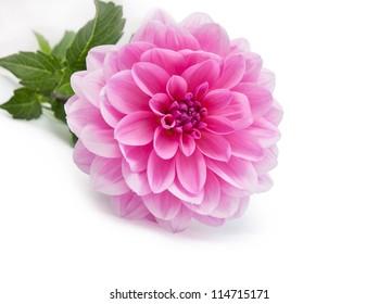 Pink dahlia isolated on white background