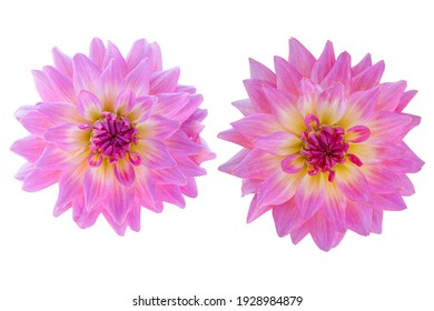 Pink dahlia isolated on the white background. Photo with clipping path.