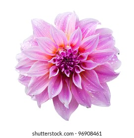 Pink dahlia isolated on white with clipping path