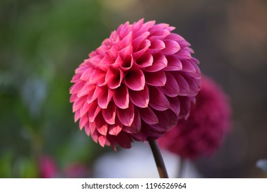 Pink dahlia at the park