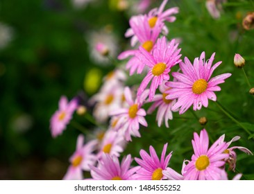 Pink daisies in a garden with green nature copy space.