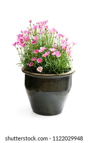 Pink  Daisies Marguerite perennials in flower pot isolated on white