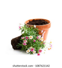 Pink  daisies marguerite plant in flower pot isolated on white background. Ready for planting.