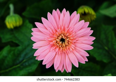 pink daisy is blossom in Thailand