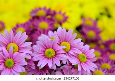 Pink daisy with colorful background.