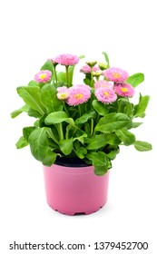 pink Daisy flowers (Bellis perennis) in flowerpot at white isolated background.