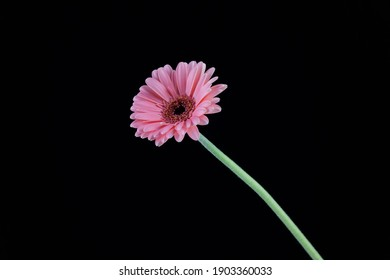 pink daisy in front of black background