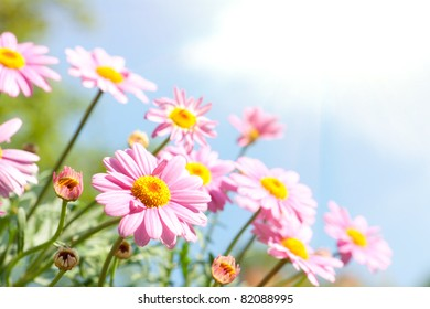 Pink daisy in front of blue sky with flowers