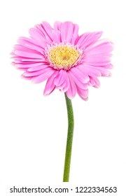 pink daisy isolated on white background