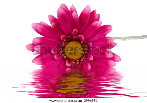 Pink daisy on white background