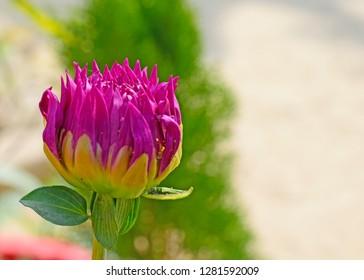 pink daliya flower.it's winter time flower.