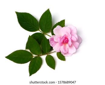 Pink of Damask Rose flower with leaves on white background. (Rosa damascena)