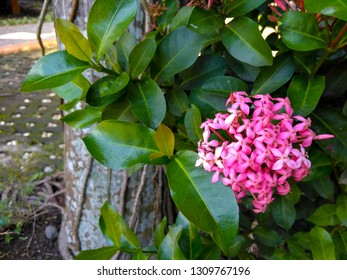 pink Daphne flower, Dense cluster of bright pink flowers of evergreen shrub of poisonous wild rose daphne, Daphne cneorum, blooming on a spring day