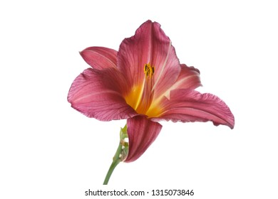 Pink daylily flower isolated on white background.