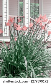 Pink daylily on the background of a country house.