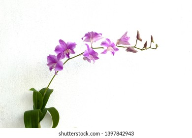 pink dendrobium orchids on white background