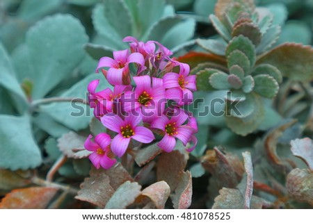 Pink Desert Flowers 2 Stock Photo Edit Now 481078525 Shutterstock