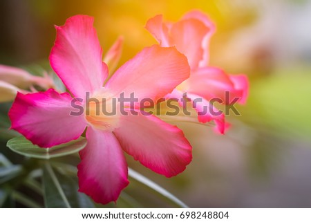 Pink Desert Rose Flowers Adenium Obesum Stock Photo Edit Now
