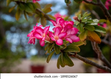 Pink Desert Rose flowers growing on a shrub, on the island of Barbados - Shutterstock ID 1898526067