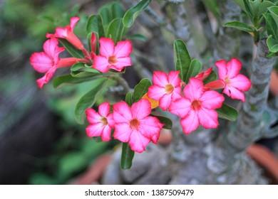 Pink Flower Of Desert Rose,Beautiful Adenium obesum