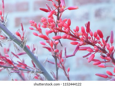 Pink  Desert Yucca Flowers
