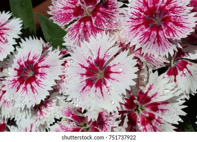 Pink Dianthus with Raindrops