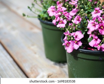 Pink diascia flowers in plastic pots on wooden deck ready to be planted