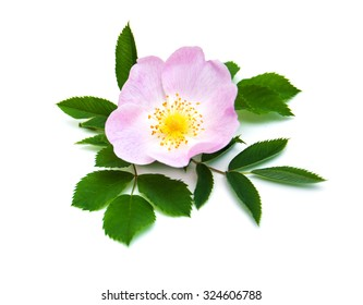 Pink Dog rose on a white  background