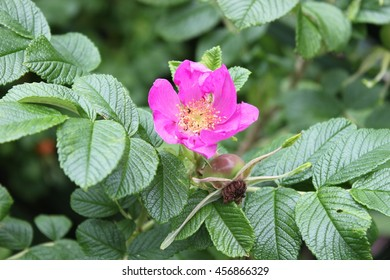 Pink dogrose flower with green leaves