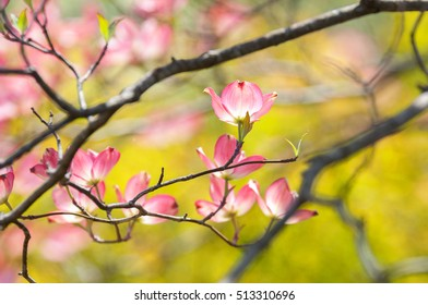 Pink dogwood blossoms against a pastel spring background.