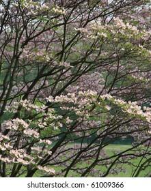Pink dogwood tree in Philadelphia